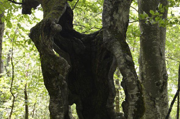 יער עד
